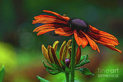 Photograph - Rudbeckia by Diana Mary Sharpton