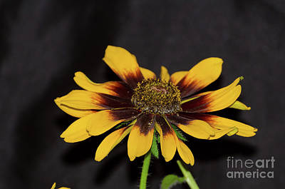 Photograph - Rudbeckia by Donna Brown