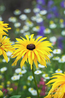 Photograph - Rudbeckia Flowering by Tim Gainey