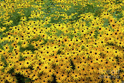 Rudbeckia Fulgida Deamii Flowers Art Print by Tim Gainey