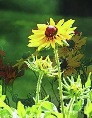 Photograph - Rudbeckia In The Yard by Lizi Beard-Ward