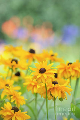 Rudbeckia Indian Summer Flowers Art Print by Tim Gainey