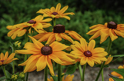 Photograph - Rudbeckia by Jane Luxton