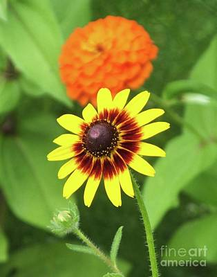 Photograph - Rudbeckia by Lizi Beard-Ward