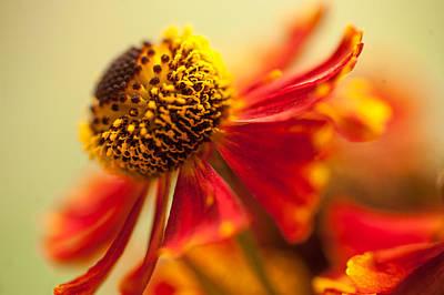 Photograph - Rudbeckia Macro by Jenny Rainbow