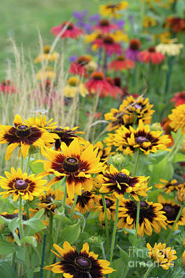 Rudbeckia Sonora  Art Print by Tim Gainey