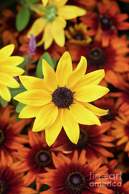 Photograph - Rudbeckia Sophia by Tim Gainey