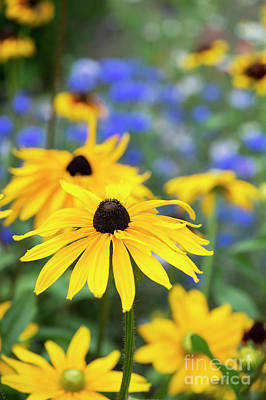 Photograph - Rudbeckia by Tim Gainey