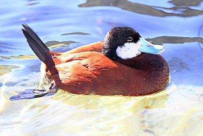 Photograph - Ruddy Duck 1 by Shoal Hollingsworth