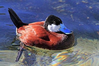 Photograph - Ruddy Duck 2 by Shoal Hollingsworth