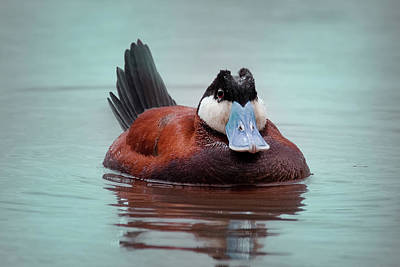 Photograph - Ruddy Duck by Craig Strand