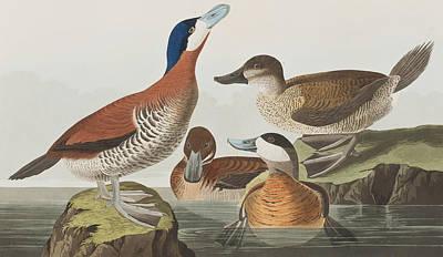 Group Of Birds Painting - Ruddy Duck by John James Audubon