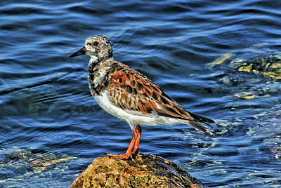Photograph - Ruddy Turnstone 2 by HH Photography of Florida