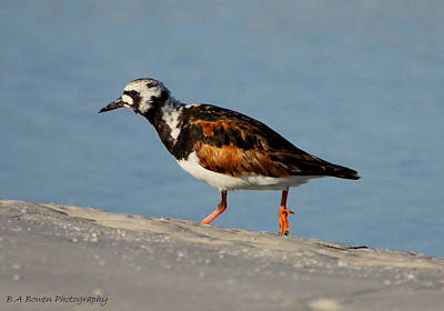 Photograph - Ruddy Turnstone by Barbara Bowen