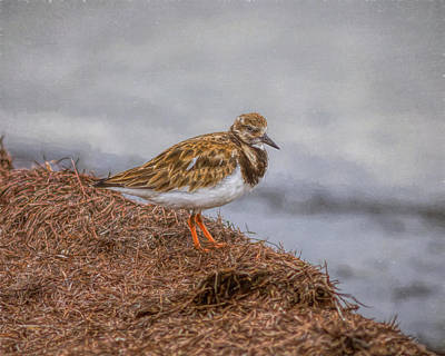 Photograph - Ruddy Turnstone By The Waters Edge by John M Bailey