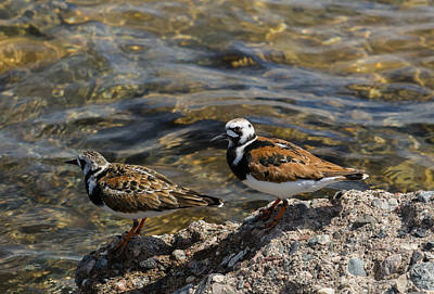 Photograph - Ruddy Turnstone by Dan Hefle