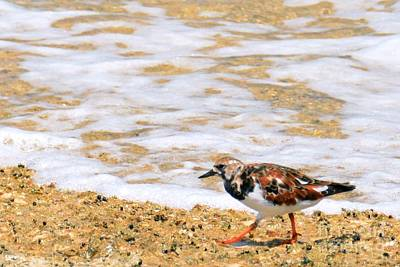 Photograph - Ruddy Turnstone by Darla Wood