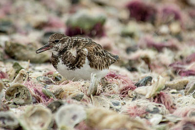 Photograph - Ruddy Turnstone by Frank Madia