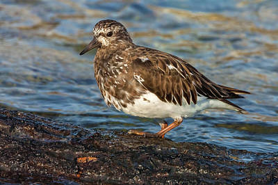 Photograph - Ruddy Turnstone  by Jonathan Nguyen