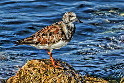 Photograph - Ruddy Turnstone Posing  by HH Photography of Florida