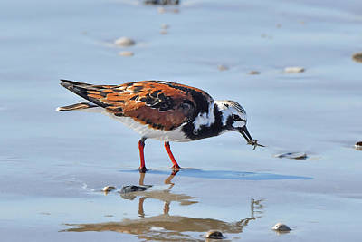 Photograph - Ruddy Turnstone With Meal by Alan Lenk