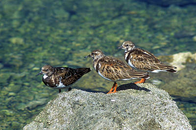 Photograph - Ruddy Turnstones by John Burk