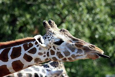Photograph - Rude Giraffe by Sheila Brown