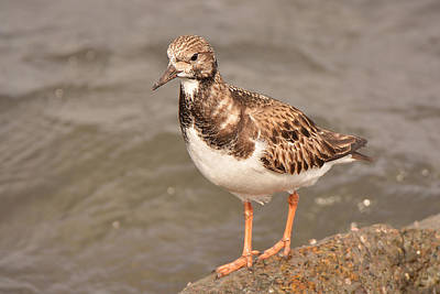 Photograph - Rudy Turnstone 2 by Alan Lenk