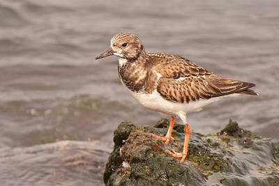 Photograph - Rudy Turnstone by Alan Lenk