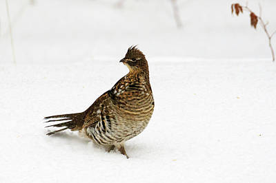 Photograph - Ruffed Grouse 2 by Gary Hall