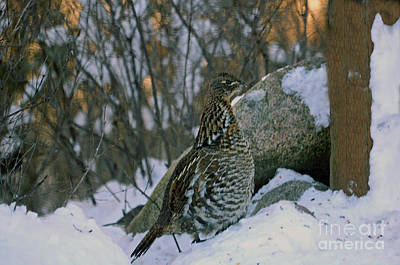 Photograph - Ruffed Grouse by Cindy Murphy - NightVisions