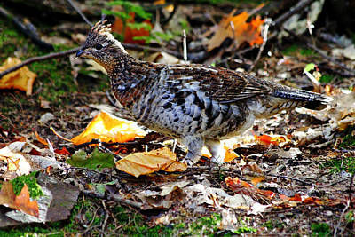 Photograph - Ruffed Grouse by Debbie Oppermann