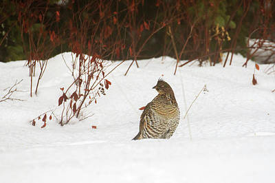 Photograph - Ruffed Grouse by Gary Hall