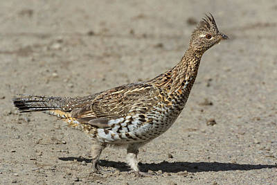 Photograph - Ruffed Grouse In The Gros Ventre by Kathleen Bishop