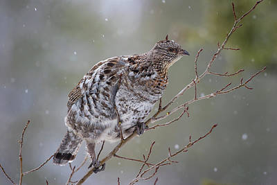 Photograph - Ruffed Grouse In Winter Snow by Mark Miller