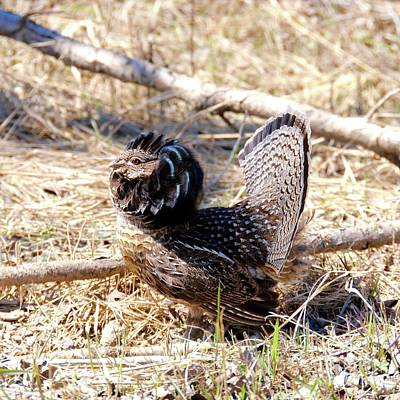 Photograph - Ruffed Grouse Strutting by Sandra Updyke
