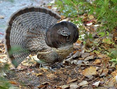 Ruffed Up- Ruffed Grouse Displaying Art Print