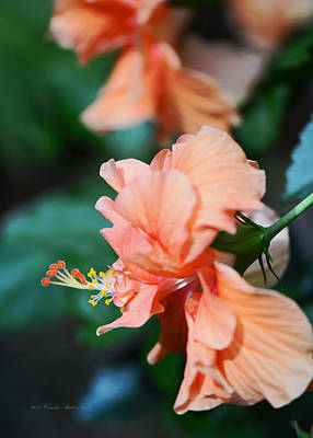 Photograph - Ruffled Apricot Hibiscus Flower by Connie Fox