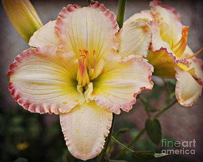 Photograph - Ruffled Beauty by Kathy M Krause