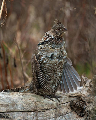 Ruffled Grouse Drumming Print by Gary Langley