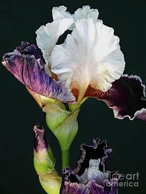 Marvelous Marble - Ruffled or Laced - Bearded Iris by Cindy Treger