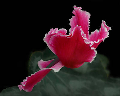 Ruffled Pink Cyclamen Art Print by Nikolyn McDonald