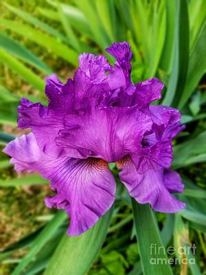 Photograph - Ruffled Purple Iris by Rachel Hannah