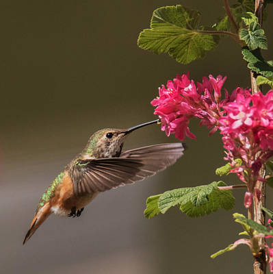 Photograph - Rufous And Her Flowers by Angie Vogel