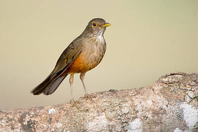 Rufous Wall Art - Photograph - Rufous-bellied Thrush Turdus by Panoramic Images