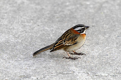 Rufous Collared Sparrow Art Print by James Brunker