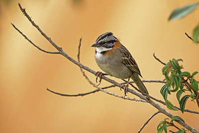 Photograph - Rufous-collared Sparrow by Jean-Luc Baron