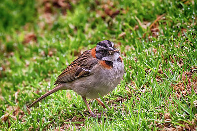 Photograph - Rufous-collared Sparrow by John Haldane