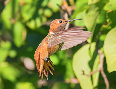 Photograph - Rufous Cutie by Loree Johnson
