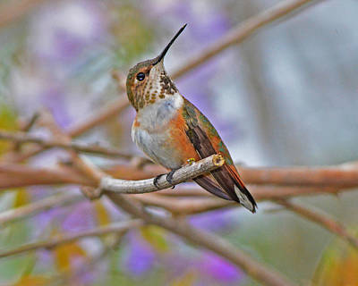 Photograph - Rufous Hummingbird Among The Blooms by Jack Moskovita